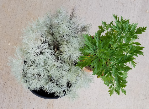 Can the Artemisia Plant help fight Covid 19?
