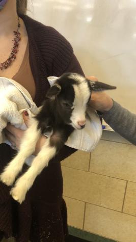 New Goats at Conrad !