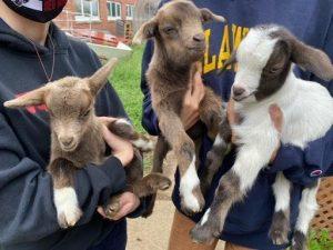 Vet Tech is Toting Goats