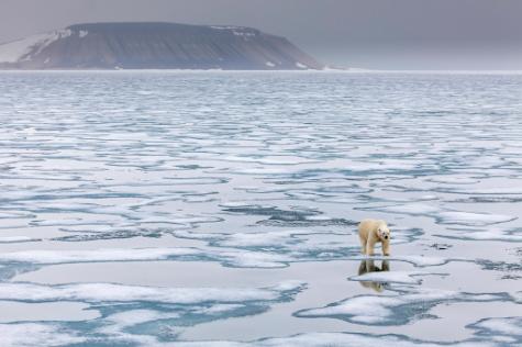 Polar Bears Incestuous?